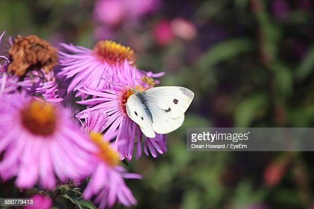 close-up of butterfly pollinating on pink coneflower outdoors - howard,_wisconsin stock pictures, royalty-free photos & images