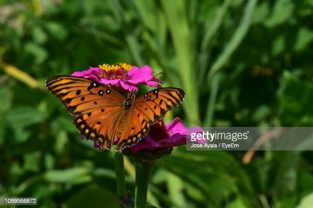 close-up of butterfly pollinating on pink flower - jose ayala fotografías e imágenes de stock