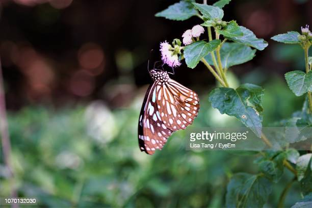 close-up of butterfly pollinating on plant - lisa tang stock photos and pictures