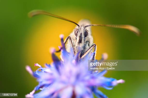 close-up of butterfly pollinating on purple flower in spring - andrea rizzi stock pictures, royalty-free photos & images
