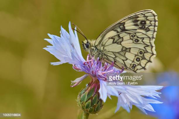 close-up of butterfly pollinating on purple flower - st. albans stock pictures, royalty-free photos & images