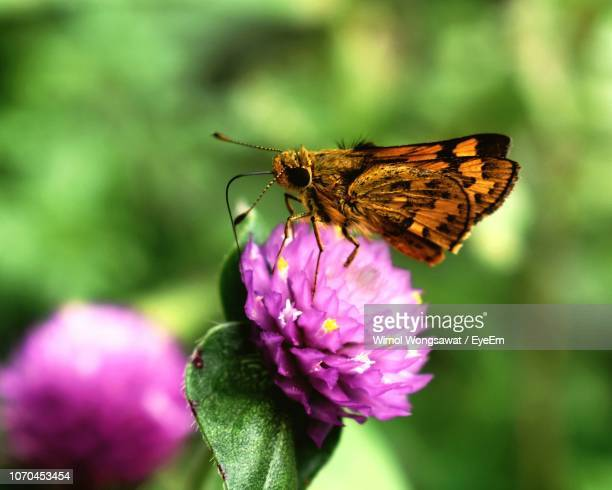 close-up of butterfly pollinating on purple flower - wimol wongsawat stock photos and pictures