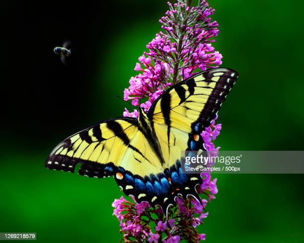 close-up of butterfly pollinating on purple flower, watkinsville, united states - swallowtail butterfly stock pictures, royalty-free photos & images