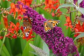 closeup butterfly pollinating purple flowers