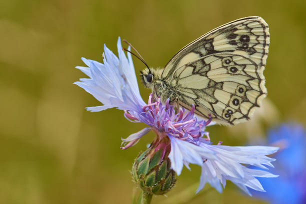 Close-up of butterfly pollinating on purple flower,Sandridge,England,United Kingdom,UK