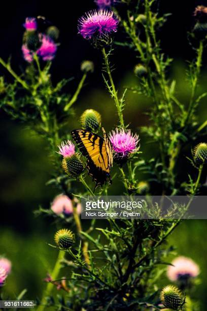 Close-Up Of Butterfly Pollinating On Purple Thistle Flower