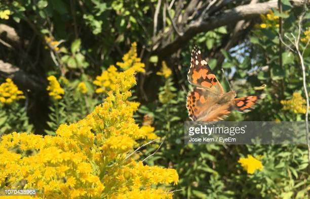 close-up of butterfly pollinating on yellow flower - josie photos et images de collection