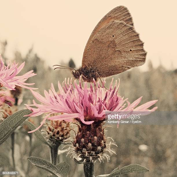 Close-Up Of Butterfly Pollinating Thistle On Field Against Sky