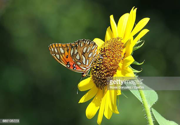 Close-Up Of Butterfly Pollinating Yellow Flower
