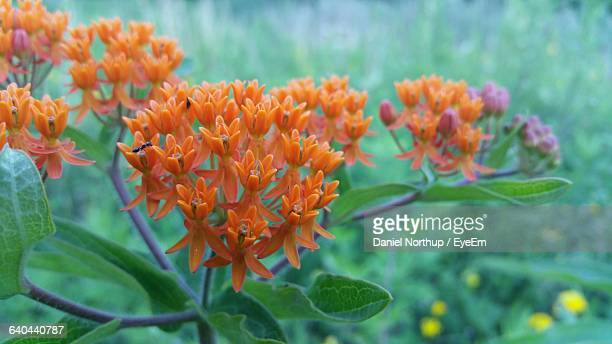 Close-Up Of Butterfly Weed Blooming Outdoors