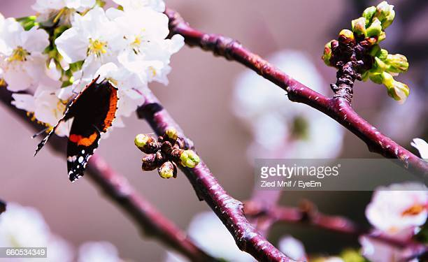 Close-Up Of Butterly On Pink Flowers Growing On Branch