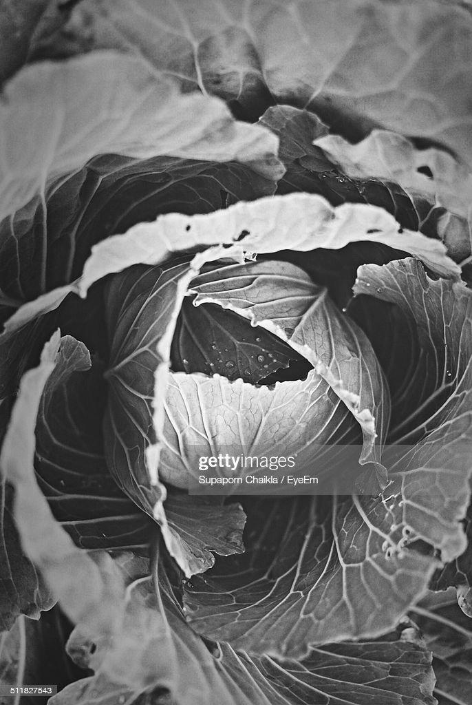 Close-up of cabbage : Stock Photo