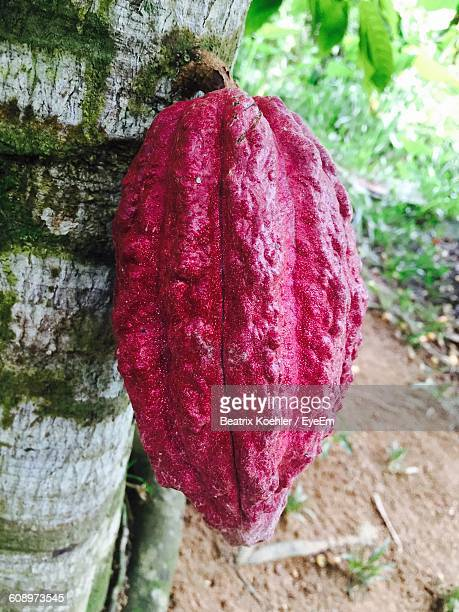 close-up of cacao fruit growing on tree - cacao tree stock photos and pictures