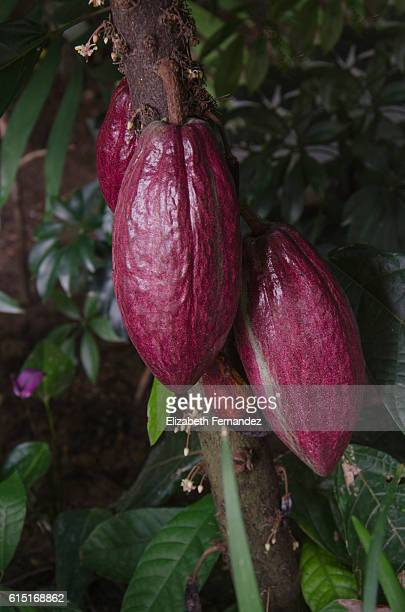 Close-Up Of Cacao Fruit Growing On Tree