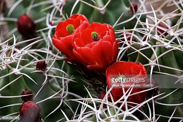 Close-Up Of Cactus Flowers Blooming Outdoors