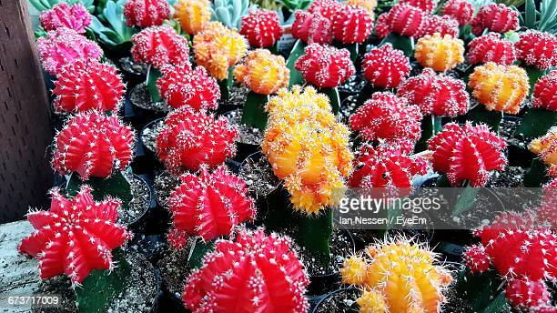 Close-Up Of Cactus Flowers