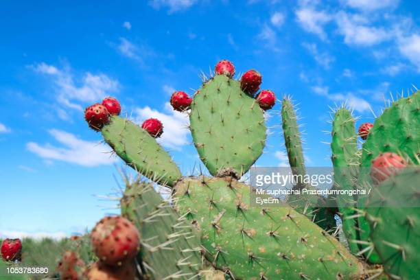 close-up of cactus growing against sky - prickly pear cactus stock photos and pictures
