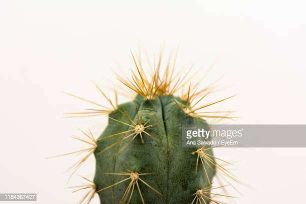close-up of cactus plant against white background - sharp stock pictures, royalty-free photos & images