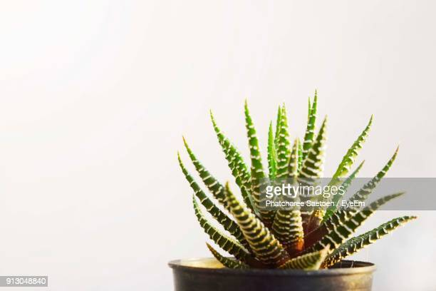 Close-Up Of Cactus Plant Against White Background