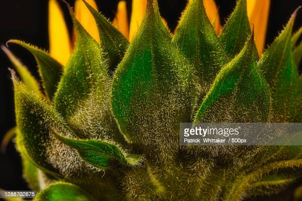 close-up of cactus plant,coral springs,florida,united states,usa - coral springs stock pictures, royalty-free photos & images