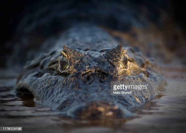 close-up of caiman - pantanal stockfoto's en -beelden