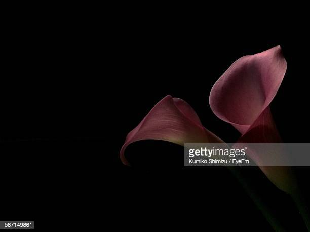 close-up of calla lilies against black background - calla lily stock pictures, royalty-free photos & images