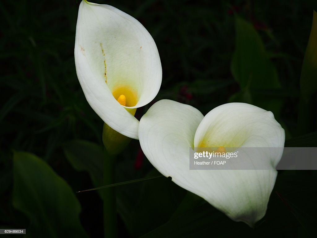 Closeup Of Calla Lily Flowers Stock Photo Getty Images