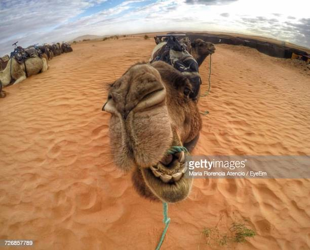 close-up of camel against sky - dry mouth stock photos and pictures