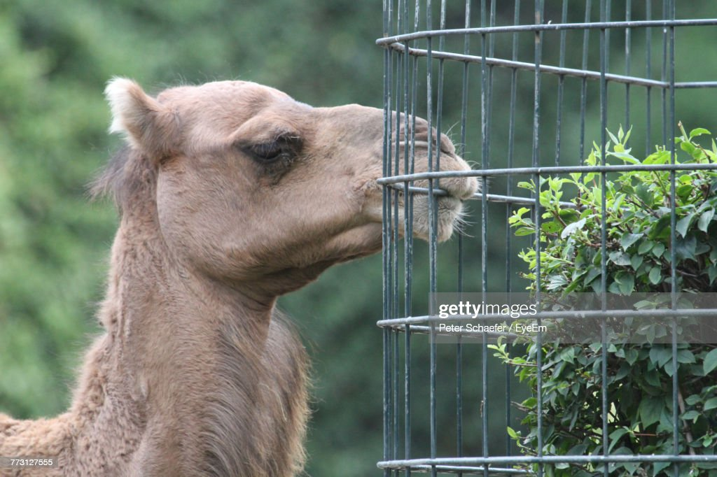 Close-Up Of Camel By Cage : Photo