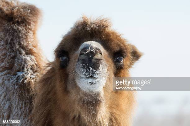 Close-up of Camel in snow, Mongolia.
