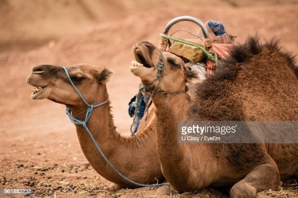 close-up of camel sitting on field at desert - working animal stock pictures, royalty-free photos & images