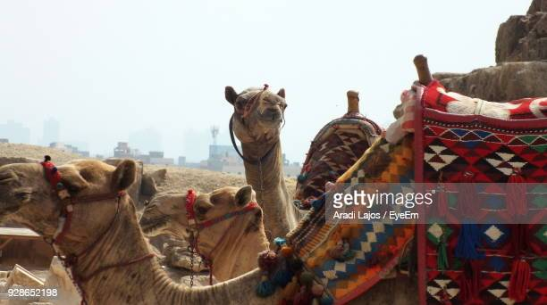 Close-Up Of Camels Against Sky