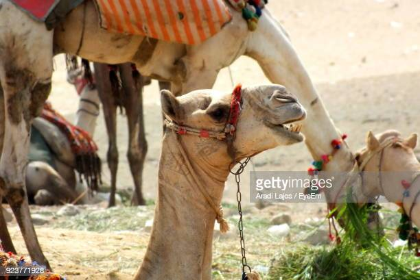 Close-Up Of Camels On Field