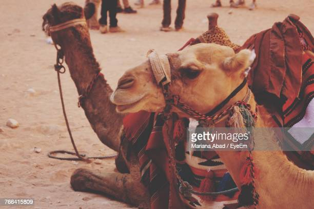 close-up of camels sitting on sand - mariana abad fotografías e imágenes de stock