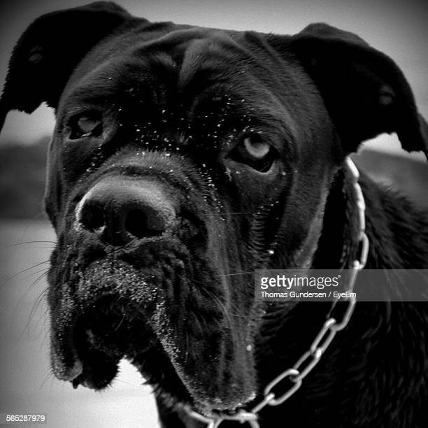 Close-Up Of Cane Corso Dog With Snow On Face
