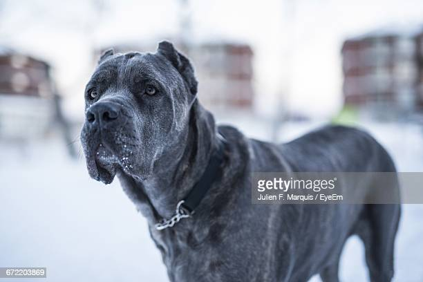 Close-Up Of Cane Corso During Winter
