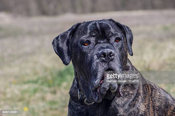 Close-Up Of Cane Corso Looking Away Outdoors