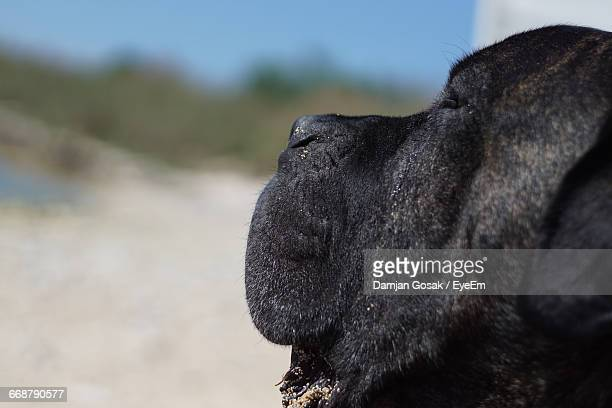 Close-Up Of Cane Corso On Sunny Day