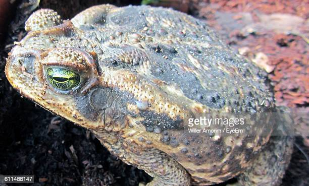 close-up of cane toad - cane toad stock pictures, royalty-free photos & images