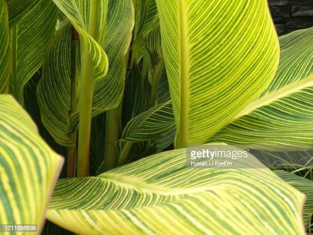 close-up of canna leaves - canna lily stock pictures, royalty-free photos & images