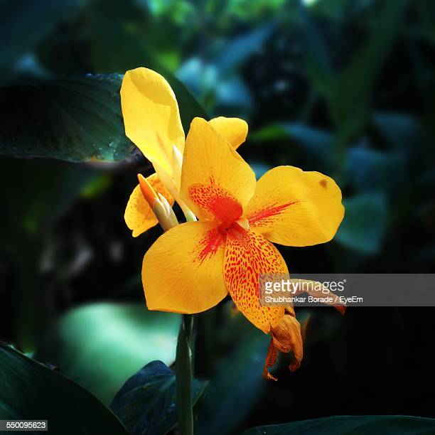 close-up of canna lily blooming outdoors - canna lily stock pictures, royalty-free photos & images