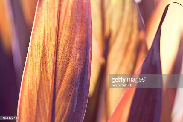 Close-up of canna lily leaves