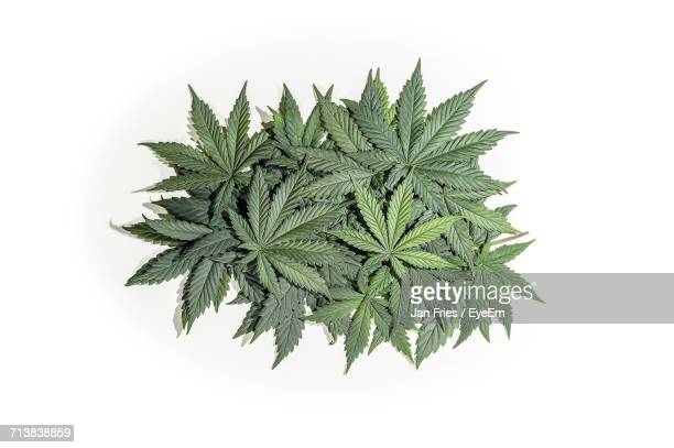 close-up of cannabis leaves against white background - marijuana stock photos and pictures