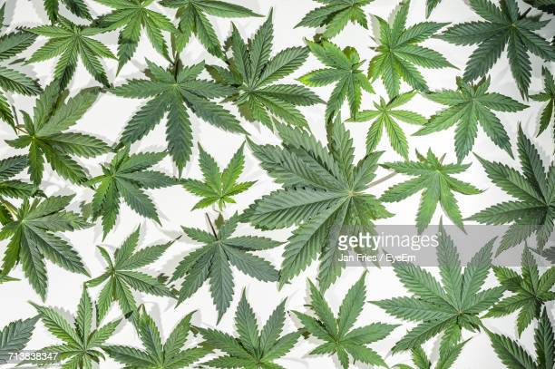 close-up of cannabis leaves - cannabis plant stock photos and pictures