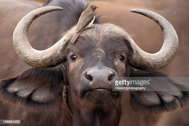 closeup of cape buffalo - wild cattle stock photos and pictures