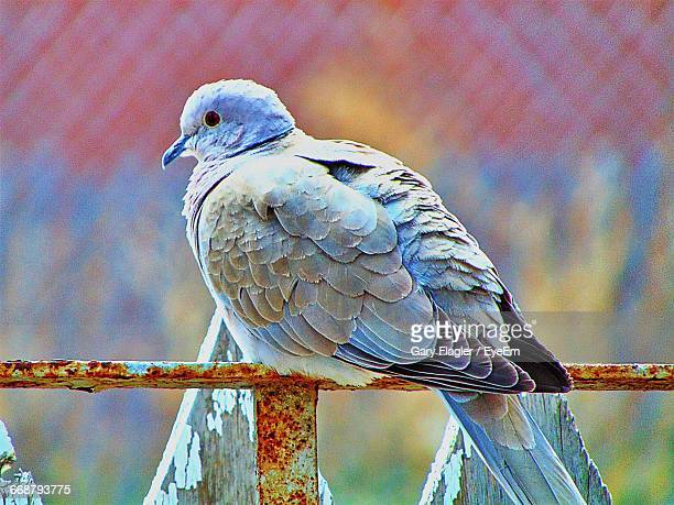 close-up of cape turtle dove perching on rusty railing - turtle doves stock photos and pictures