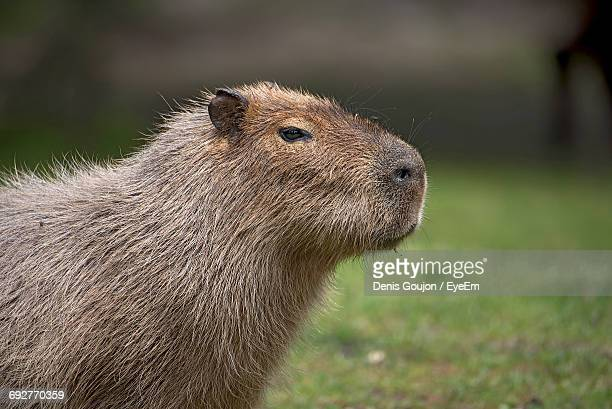 Close-Up Of Capybara On Grass