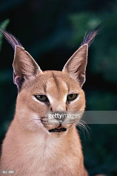 Close-up of caracal head and shoulders