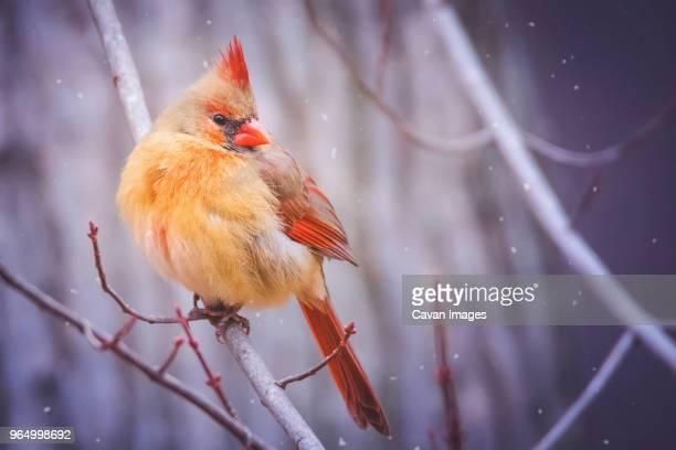 close-up of cardinal bird perching on branch during snowfall - cardinal bird stock photos and pictures