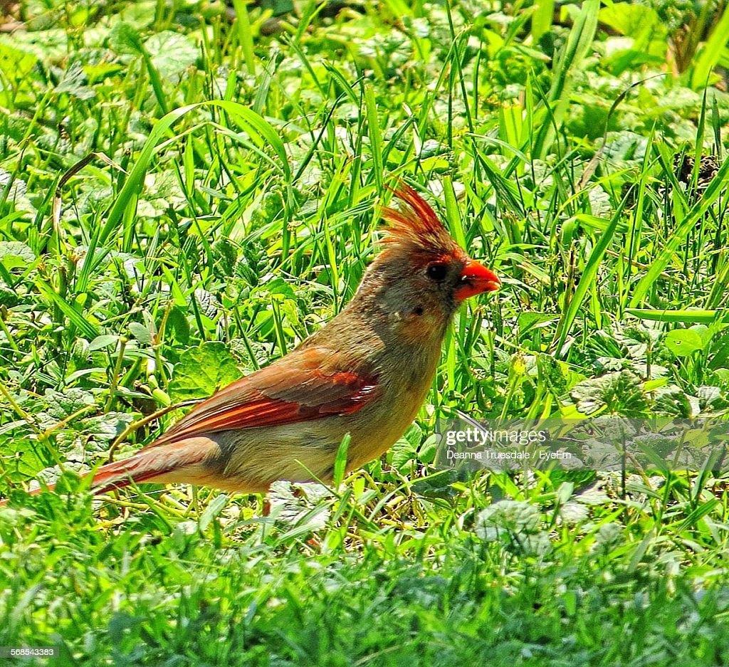 Close-Up Of Cardinal On Grassy Field : Stock Photo